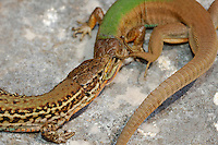 A fight between two male Common Wall Lizards (Podarcis melisellensis), Europe.