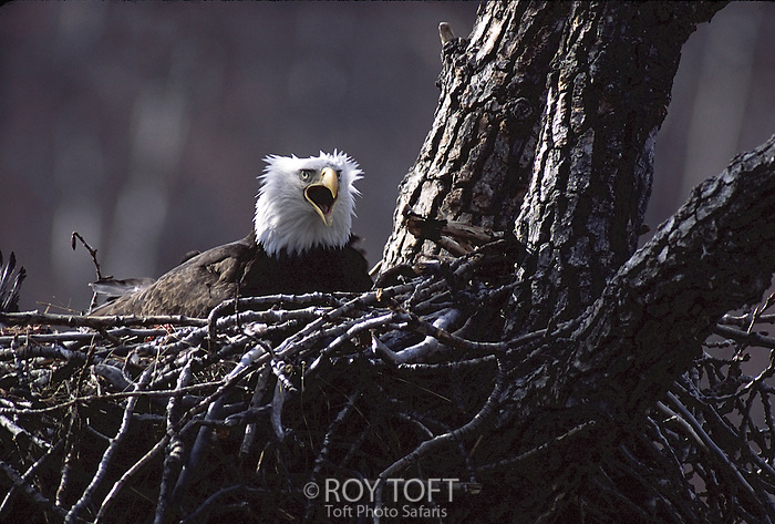 American bald eagle (Haliaeetus leucocephalus) in nest, Katmai National Park, Alaska.
