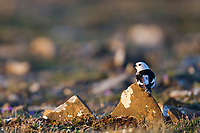 Snow bunting perched on a rock in the midnight sunshine, Utukok uplands, National Petroleum Reserve Alaska, Arctic, Alaska.