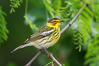Cape May Warbler photographed in Port Aransas, TX