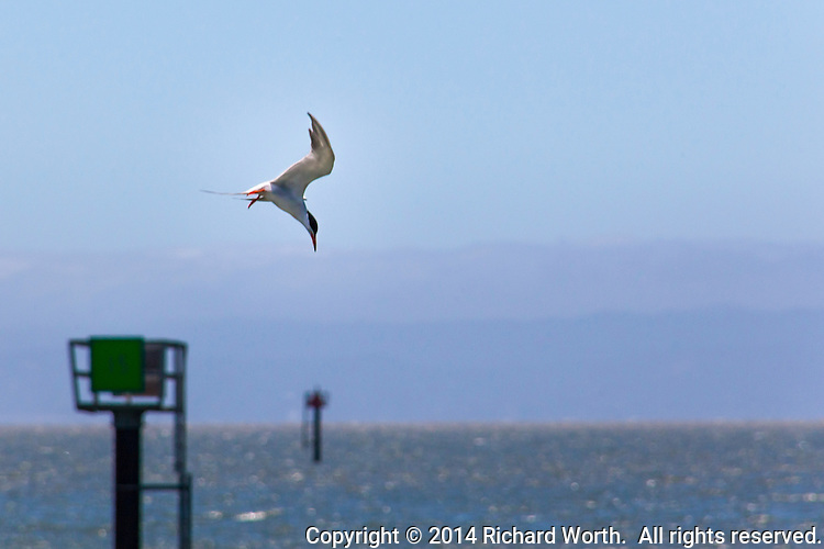A tern sees its prey, breakfast, lunch or dinner, and prepares to dive at the San Leandro Marina on San Francisco Bay.