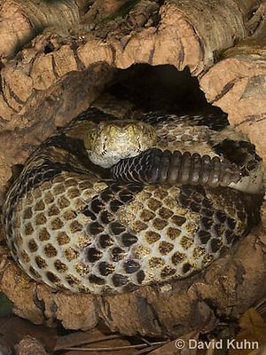 1211-1005  Timber Rattlesnake Resting in Cavity of Tree Displaying Rattler (Canebrake Rattlesnake), Crotalus horridus  © David Kuhn/Dwight Kuhn Photography