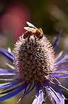 Blue Star Sea Holly with Bee, Western Honey Bee, Southern California