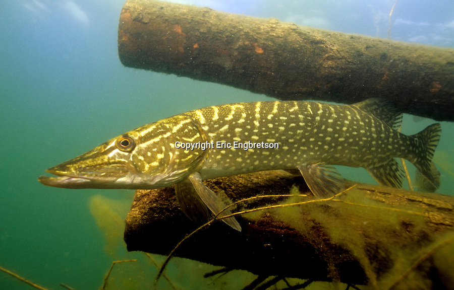how to hold a northern pike