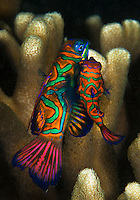 Male and female Mandarin fish in mating dance. The large one is the female and the small one the male. When mating, they emerge very briefly out of the coral and move into the open water, before darting back to the safety of the coral, Palau Micronesia. (Photo by Matt Considine - Images of Asia Collection)
