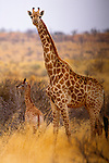 Giraffe with calf, South Africa