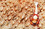 Emperor Shrimp ( imperial shrimp ) Periclimenes imperator on sea cucumber, Bunaken National Park, Sulawesi, Indonesia