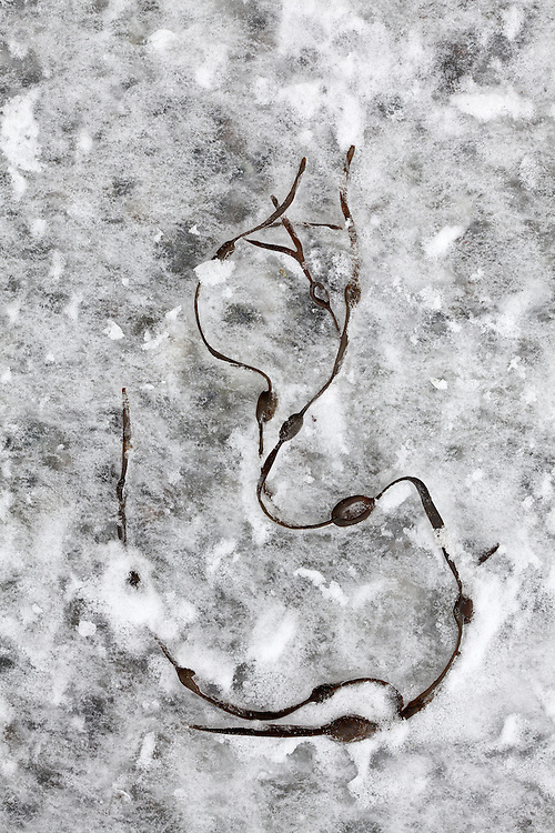 Washed ashore at low tide, rockweed in an abstract position sits along the Bar Harbor Shore Path inBar Harbor, Maine, USA