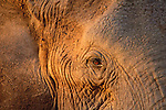 The setting sun shines on an elephants profile in Africa.