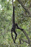 Central American Spider Monkey (Ateles geoffroyi), adult using prehensile tail, Belize.