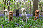 Portrait Shoot  - Gun Dogs  20th April 2017