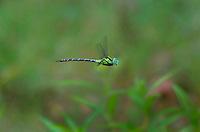 339550004 a wild male malachite darner remartinia luteipennis flies over a small stream near empire creek las cienegas natural area santa cruz county arizona united states