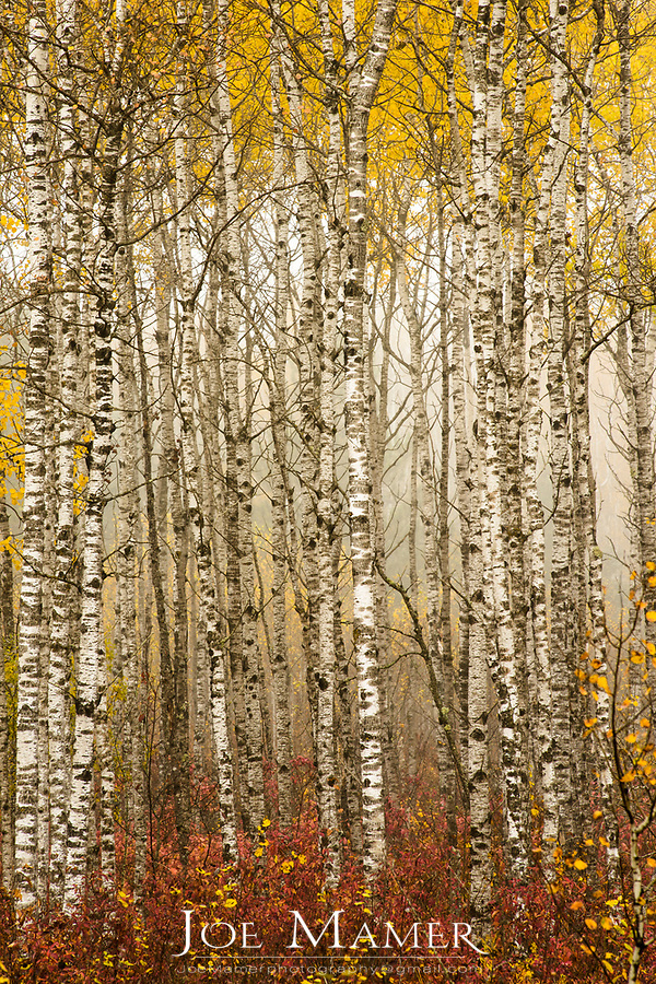 Colorful birch forest with light early morning fog.