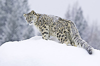 Snow Leopard standing on the top of a hill in the snow - CA