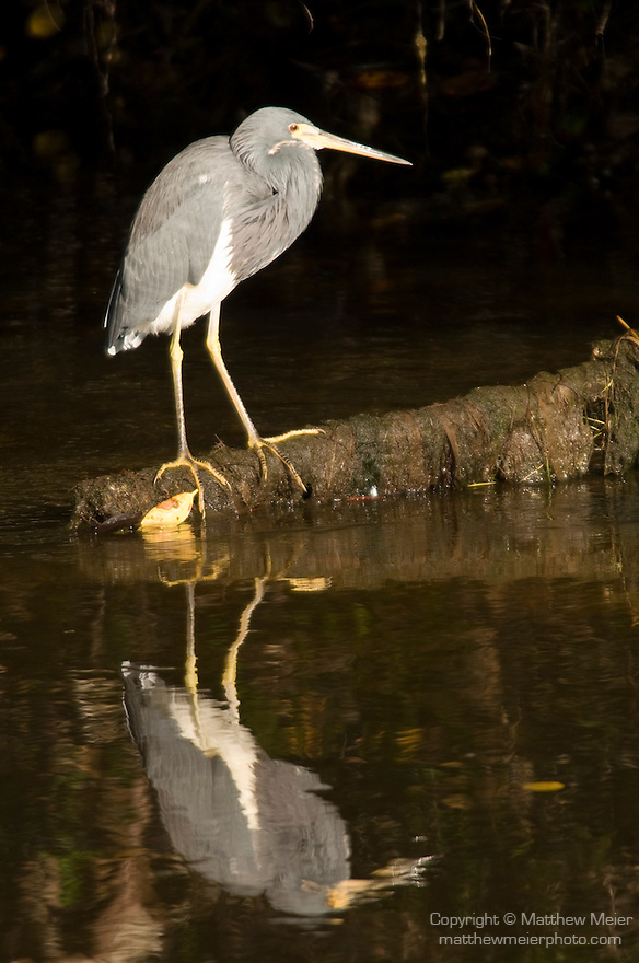 Ding Darling National Wildlife Refuge, Sanibel Island, Florida; an adult Tricolored heron (Egretta tricolor) bird fishes for food while standing on a log, just above the shallow water's surface © Matthew Meier Photography, matthewmeierphoto.com All Rights Reserved
