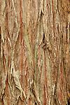 Bark of redwood tree (Sequoia sempervirens), California