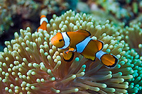 Andaman and Nicobar Islands, India, April 2008.  A clown anemonefish. With Barefoot Scuba we dive the colourful coral reefs surrounding the islands and see a mulitude of fish. The remote Andaman Islands are an upcoming eco tourism and active adventure destination. Photo by Frits Meyst/Adventure4ever.com