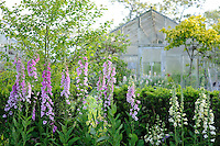 Digitalis pupurea 'Gloxinioides' on left and Digitalis 'Primrose Carousel' on right