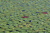 lily pads cover a shallow lake