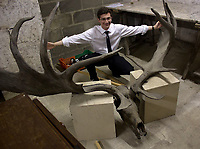BNPS.co.uk (01202 558833)<br /> Pic: BlenheimPalace/BNPS<br /> <br /> The huge antlers before their restoration.<br /> <br /> Elk &amp; Safety fears leads to staggering restoration.<br /> <br /> 8000 year old deer horns have been restored to their former glory at Blenheim Palace in Oxfordshire.<br /> <br /> The huge 10ft wide antlers came from an extinct species of Irish Elk, that are believed to have sported the largest antlers in deer history.<br /> <br /> They were collected by the 7th Duke of Marlborough from an Irish peat bog in the late 19th century.<br /> <br /> 'Following advice we decided to move the restored antlers from the Great Hall to a less lofty location in the Palace', said House Manager Kate Ballenger.<br /> <br /> 'Not only does this make them easier to view, it also eliminates the risk of 10st antlers being suspended 40ft above the visitors!'.