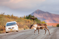 Bull walks across the gravel, Denali park road while a photographer takes a picture from his car in the distance, Denali National Park.