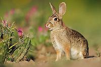 Eastern Cottontail (Sylvilagus floridanus), adult, Laredo, Webb County, South Texas, USA