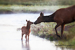 A photo of a cow elk and her calf.