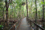 Marrdja Boardwalk passing through mangrove swamp.  Daintree National Park, Queensland, Australia