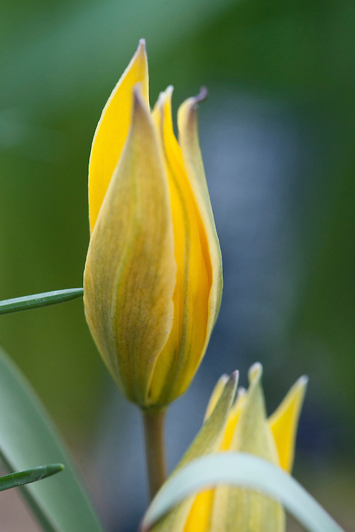 Tulip (Tulipa biflora syn. Tulipa polychroma), glasshouse, early March.