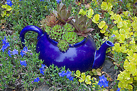 Vashon Island, WA<br /> Garden of tile artist Clare Dohna featuring a blue teapot planted with hen and chicks