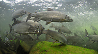 Lake Whitefish, Underwater