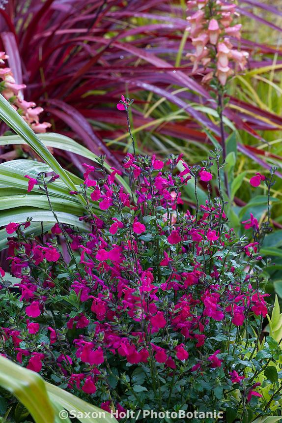 Salvia microphylla 'Killer Cranberry',  Mountain Sage red flowering perennial in garden border;  Sunset Plants