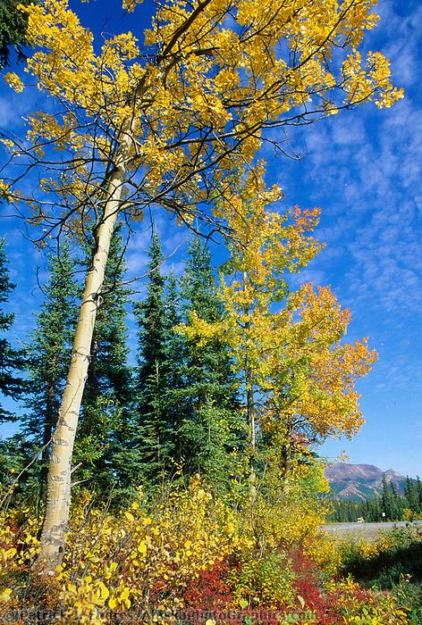Quaking Aspen trees, Denali National Park, Alaska