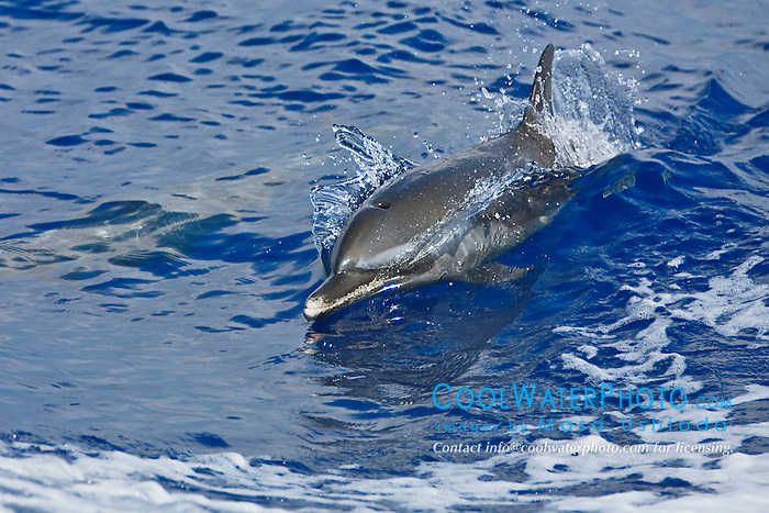 Pantropical Spotted Dolphin, Stenella attenuata, wake-riding, off Kona Coast, Big Island, Hawaii, Pacific Ocean.