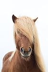 Iceland Icelandic horses