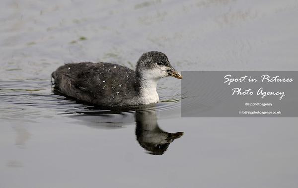 coot chick swimming. Rainham Marshes. Essex. 06\06\2008 Credit Garry Bowden