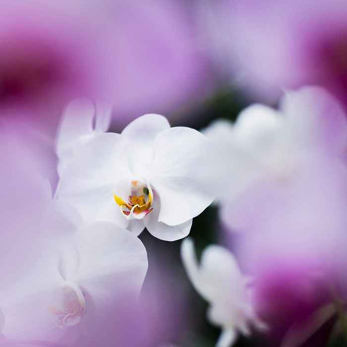 Purple And White Orchid Flowers White Orchid Flower in The