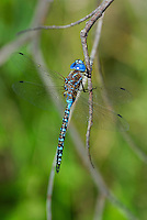 339360060 a wild male blue-eyed darner rhionaeschna multicolor perches on a dead twig at las cienegas natural conservation area santa cruz county arizona
