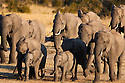 Zimbabwe, Hwange National Park, African elephant (Loxodonta africana) herd walking towards water hole