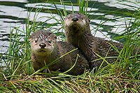 Two young Northern River Otter (Lontra canadensis) pups on grassy log along lake edge.  Western U.S., summer..