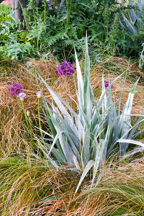 specimen astelia with spiky allium and ornamental grasses