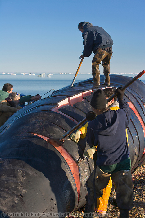 Inupiat from the village of Kaktovik, Barter Island, Alaska, harvest a bowhead whale harpooned in the autumn subsistence whale hunt in the Beaufort Sea.