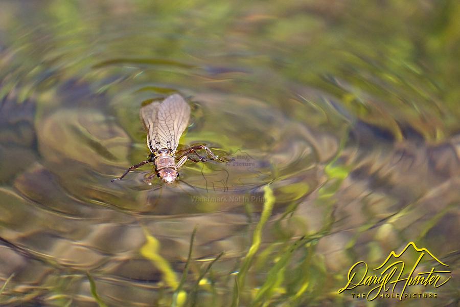 Stonefly, Yellowstone River, Yellowstone National Park