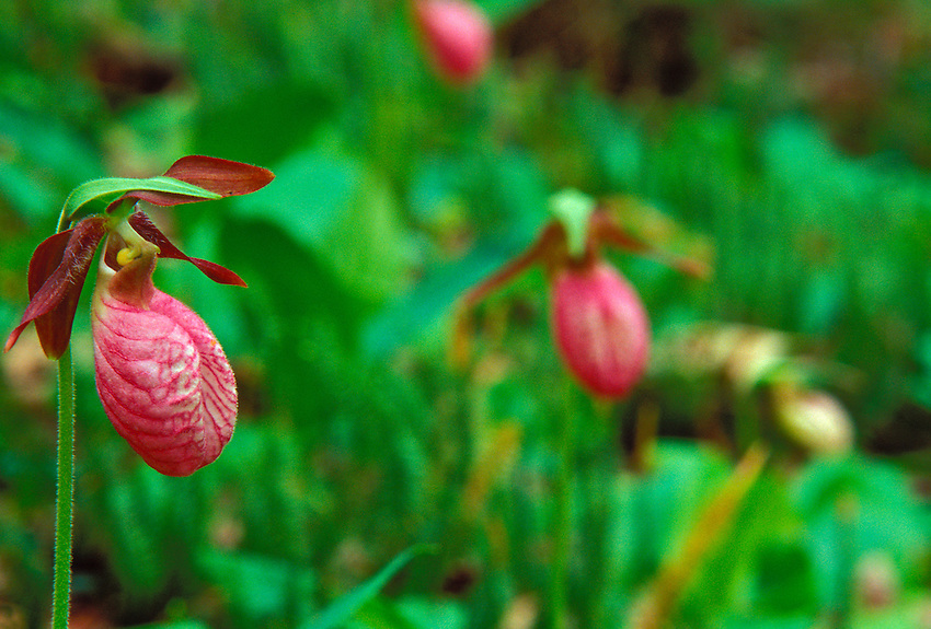 PINK LADY SLIPPER ORCHIDS (Cypripedium acaule) NEAR MOSQUITO BEACH IN PICTURED ROCKS NATIONAL LAKESHORE NEAR MUNISING.