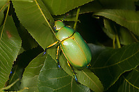 Jewel Beetle (Chrysina woodi),  Texas, USA
