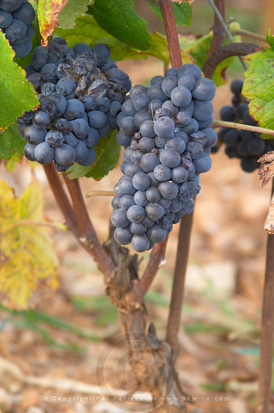 Bunches of ripe grapes. Pinot noir. Rugiens sector. Pommard, Cote de Beaune, d'Or, Burgundy, France