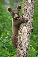 Cinnamon Black Bear cub (Ursus americanus) clinging to a tree near Riding Mountain National Park, Manitoba, Canada