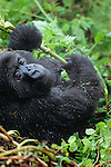 Mountain Gorilla, Volcanoes National Park, Rwanda