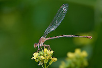 338550019 a wild juvenile female powdered dancer damselfly argia moesta perches on a small flower at hornsby bend austin travis county texas united states