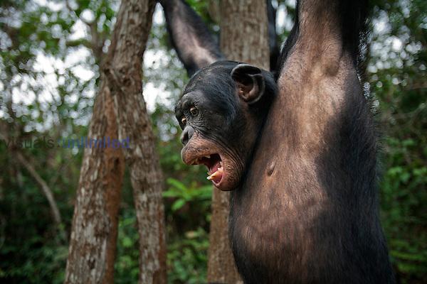 Bonobo mature male swinging from a branch (Pan paniscus), Lola Ya Bonobo Sanctuary, Democratic Republic of Congo.